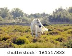 A wild white horse of the Camargue, France, grazing in the wetlands on a summer afternoon. - stock photo
