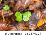 Clover or trefoil in autumn, missing one leaf making it look like a butterfly - stock photo