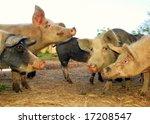 Free living pigs on a farm - stock photo