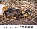 Newly born duckling resting after being hatched - stock photo