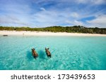 Swimming pigs of the Bahamas in the Out Islands of the Exuma - stock photo