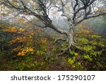 Craggy Gardens North Carolina Blue Ridge Parkway Autumn NC scenic landscape photography featuring foggy conditions around an old beech tree in the fog during the fall foliage - stock photo