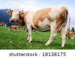 Brown cow on a field in Austria - stock photo