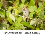 Song Sparrow (Melospiza melodia)  perched on a branch. Montreal, Quebec, Canada, North America. - stock photo