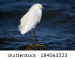 Snowy Egret (Egretta thula) on a rock in the water with waves behind. . Patagonia, Argentina, South America - stock photo