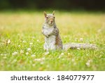 Eastern Gray Squirrel (Sciurus carolinensis) surrounded by unidentified flowers - stock photo