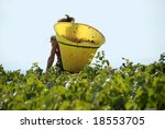 Harvesting the wine grapes in the vineyard in France - stock photo