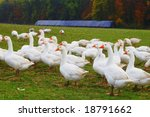 Herd of geese on a green meadow - stock photo