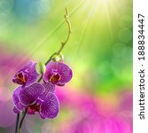 purple orchid flower with white stripes close up on blur green and purple background  in sun rays - stock photo