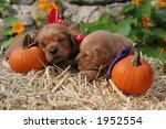 adorable golden retriever puppies in Autumn setting - stock photo