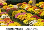 Potted mums for sale, shallow DOF - stock photo