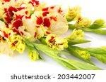 Beautiful fresh colorful fresh red and yellow gladiolus isolated \ close up \ horizontal - stock photo