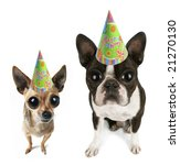a boston terrier puppy and chihuahua with big eyes - stock photo