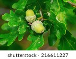 Oak branch with two green acorns, closeup in Sweden  - stock photo