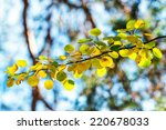 Autumn aspen leaves in green and yellow colors on a branch - stock photo