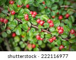 Red berries on a small bush during a wet autumn day - stock photo