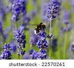 honeybee on lavender - stock photo