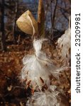 Milkweed Pod Releasing Seeds in the Fall - stock photo