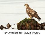 Juvenile Bald Eagle (Haliaeetus leucocephalus washingtoniensis) standing on a rock covered by algae in the shore. Vancouver Island, British Columbia, Canada, North America. - stock photo