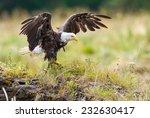 Bald Eagle (Haliaeetus leucocephalus washingtoniensis) stretching its wings before taking flight. British Columbia, Canada, North America. - stock photo