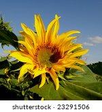 giant sunflower - stock photo