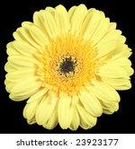 yellow flower isolated on black background - stock photo