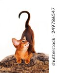 Abyssinian kitten with question shape with it's tail looking aside - stock photo