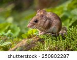Wild Wood mouse resting on a stick on the forest floor with lush green vegetation - stock photo