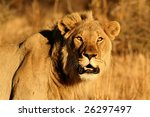 Close up of a lion - stock photo