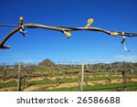 Early buds on a grape vine in California, signaling the beginning of a new crop - stock photo