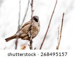 Perching House Sparrow - stock photo
