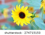 Beautiful black-eyed susan blooming flower, Rudbeckia or coneflower - stock photo