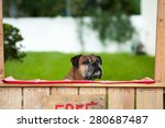 Boxer sitting in a kissing booth - stock photo