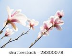 magnolia flowers on clear sky - stock photo