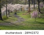 A couple enjoy a walk during the cherry blossom peak season in Branchbrook Park, Essex County, New Jersey. - stock photo