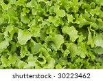 A bed of loose leaf lettuce - stock photo