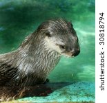 river otter viewed through glass - stock photo