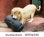 male white lion playing with barrel - stock photo