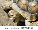 african spur thigh tortoise - stock photo