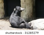 sloth bear sitting up - stock photo