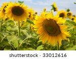 sunflowers under a blue sky / summer - stock photo