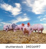 Gang of young pigs on straw with blue sky - stock photo