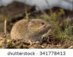 Common Vole (Microtus arvalis) in an open rural field it's Natural Habitat - stock photo