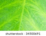 A closeup view of a green tropical leaf's veins. - stock photo