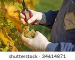 Grape harvesting in the vineyard - stock photo