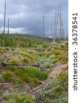 Regrowth of the forest in the Lewis river area of Yellowstone National Park - stock photo