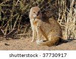 Yellow mongoose in the Kalahari desert - stock photo
