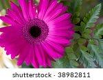 Beautyful herbera - stock photo