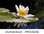 The water yellow-white lily - stock photo