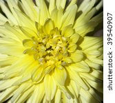 Yellow pion flower - stock photo